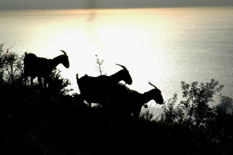 goats - coastal walk